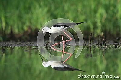 Black-winged Stilt, Common Stilt, or Pied Stilt (Himantopus himantopus)