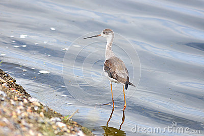 Black-winged Stilt in nature