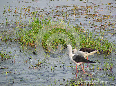 Black winged stilt pair in lake Chilika, India