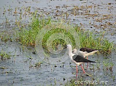 Black winged stilt pair in lake Chilika, India
