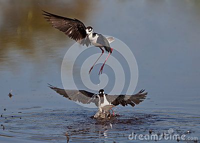 Black-winged Stilt s dance