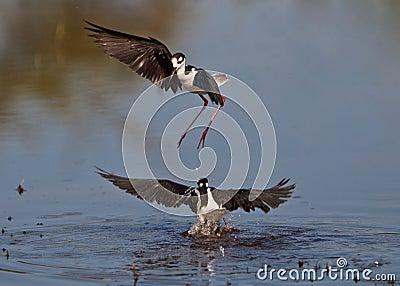 Black-winged Stilt s dance