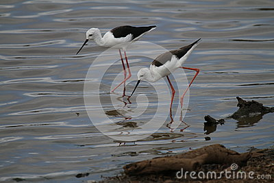 Black winged Stilts Stock Photo