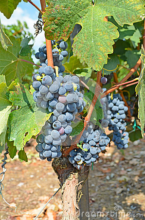 Black winw grape ripe