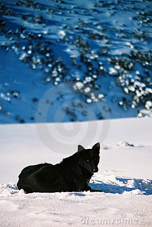 Free Black Wolf Stock Image - 81111