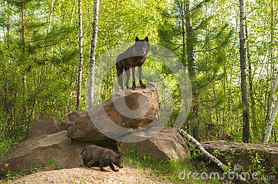 Black Wolf (Canis lupus) Stands on Top of Den