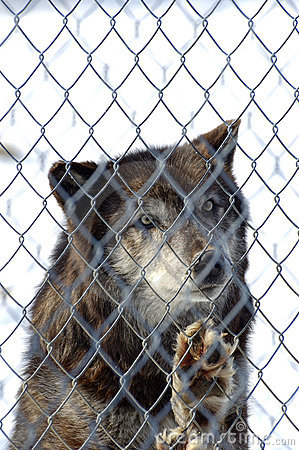 Black Wolf in Captivity