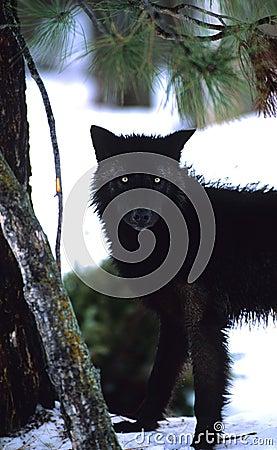 Black wolf Stare