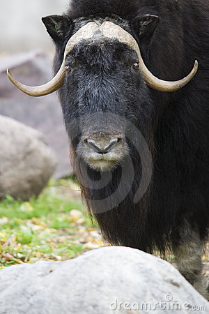 Black Yak Portrait Close Up