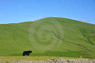 Black yak standing in front of the mountain