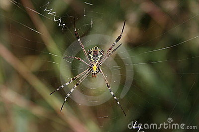 Black and yellow spider, underside