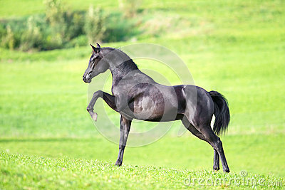 Black young horse on green background