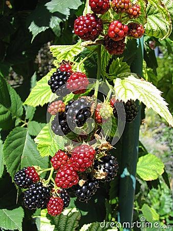 Blackberries 1/2