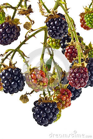 Free Blackberries Royalty Free Stock Images - 26302899