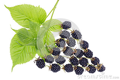 Blackberries berry concept