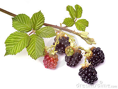 Blackberries on a brunch