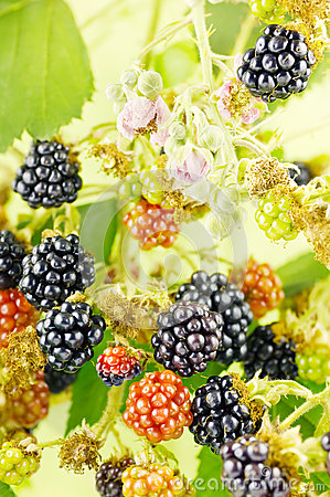 Blackberries in bush