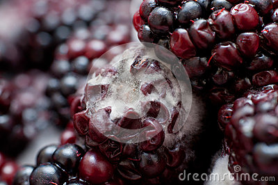 blackberries covered in white fungus and decaying