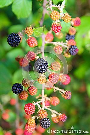 Blackberry berries branch in plant selective focus