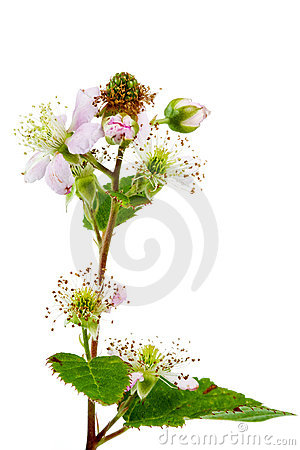 Blackberry flowers, and green blackberries