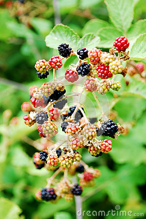 Blackberry fruit in nature