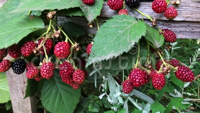 Blackberry-Wachstum im Garten stock video