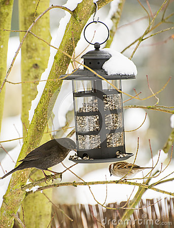 Free Blackbird And Sparrow At The Bird Feeder Royalty Free Stock Photography - 48983107
