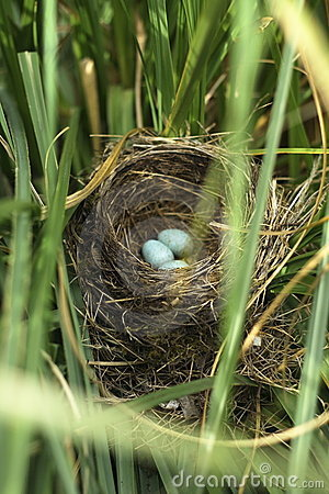 Free Blackbird Eggs In The Nest Stock Images - 5505164