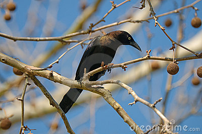 Blackbird on a limb.