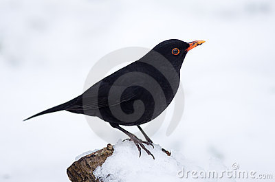 Blackbird (male)