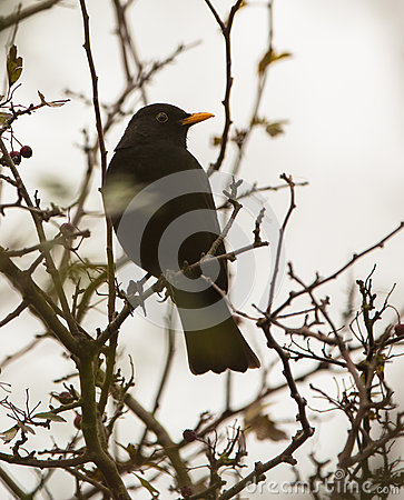 Free Blackbird On A Branch Stock Images - 28308364