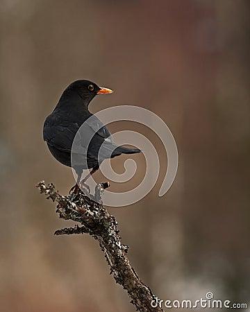 Blackbird Turdus merula male