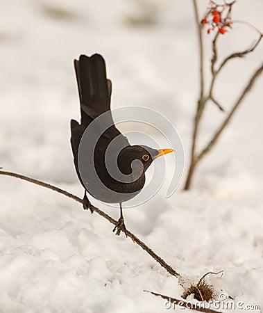 Free Blackbird With Snow Stock Photos - 29678313