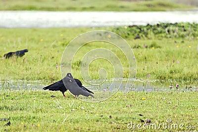 Blackbirds in a Meadow