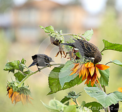 Blackbirds and Sunflowers