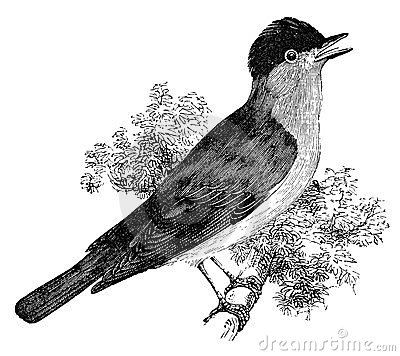 Blackcap bird vintage illustration
