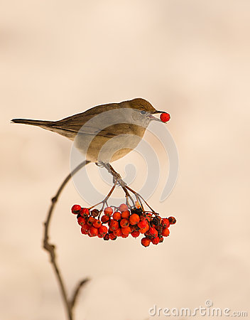 Blackcap with Rowan berry