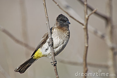 Blackeyed or common bulbul