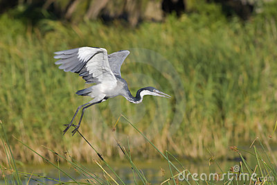 Blackheaded heron taking off