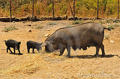 Blacks breeding pigs