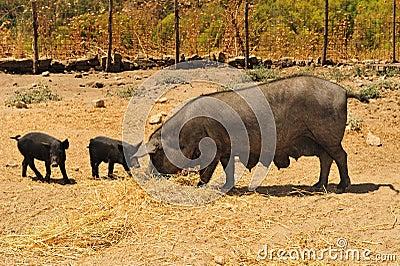 Blacks breeding pigs
