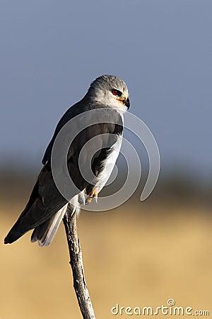 Blackshouldered Kite - Namibia
