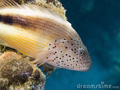 Blackside hawkfish in blue background