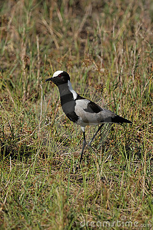 Free Blacksmith Plover Royalty Free Stock Images - 7732389