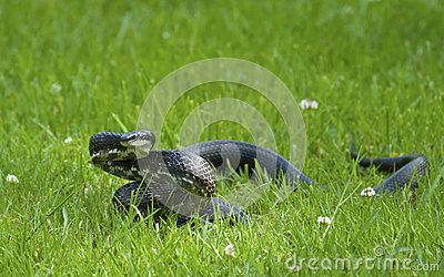 Blacksnake coiled and ready to strike.