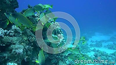 Blackspotted rubberlip Plectorhinchus gaterinus in Red sea stock footage