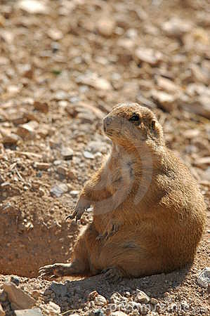 Free Blacktailed Prairie Dog Royalty Free Stock Photography - 273097