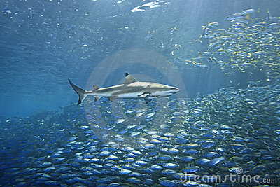 Blacktip Reef Shark and Fish
