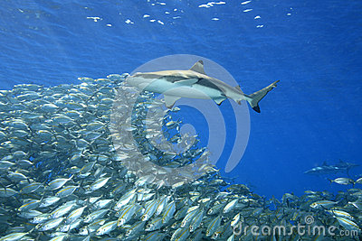 Blacktip Reef Shark with Fish
