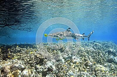 Blacktip Reef Shark with Pilotfish